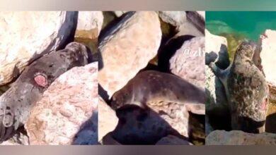Photo of Каспий теңізіндегі жарақат алған итбалықтарға арналған жедел желі іске қосылды