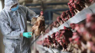 Photo of Оңтүстік Кореядағы індет: 28 млн-ға жуық үй құсы өлтірілді