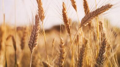Photo of Экспорт пшеницы вырос за год на 27%