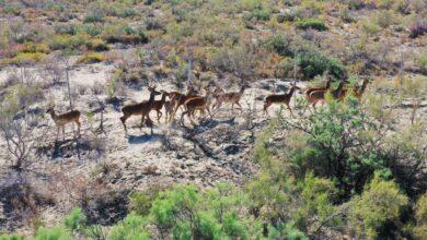 Photo of В Иле-Балхашский резерват выпускают рекордное количество краснокнижных оленей